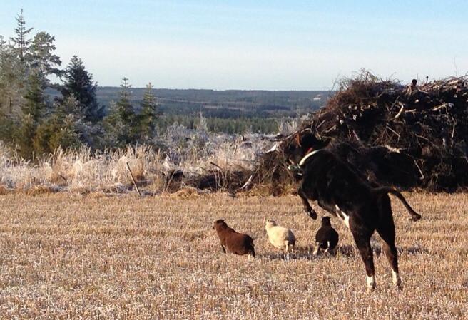 Jotkut odottavat, että lehmät lentää, toiset opettavat niitä lentämään.